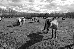Wild Horses in black-and-white - Herd - 2016-020_Web (berni.radke) Tags: horse pony herd nordrheinwestfalen colt wildhorses foal fohlen croy herde dlmen feralhorses wildpferdebahn merfelderbruch merfeld przewalskipferd wildpferde dlmenerwildpferd equusferus dlmenerpferd dlmenpony herzogvoncroy wildhorsetrack