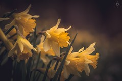 Standing Out (Augmented Reality Images (Getty Contributor)) Tags: light shadow flower macro nature forest canon scotland spring bokeh perthshire adobe daffodil editing focusstack