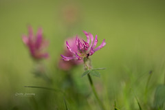 SOOC (nemi1968) Tags: pink flowers summer flower macro green grass june closeup canon insect purple bokeh ant insects ants clover markiii canon5dmarkiii ef100mmf28lmacroisusm