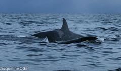 orcas (jacqy85) Tags: norway wildlife dolphins whales orca killerwhales andenes noorwegen cetacean orka spekhoggere
