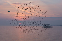 The final chapter (hehaden) Tags: sunset sea sky birds sussex pier flying brighton gull ruin westpier starlings murmuration sturnusvulgaris