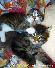 Fratelli (Nikonomane) Tags: kiku lucifero gattini nikonomane