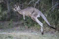 Grey Kangaroo On The Hop (Geoffsnaps) Tags: animal fur ed grey jumping nikon head australia running panoramic kangaroo queensland carbon nikkor fx gitzo leaping vr afs greykangaroo monopod acratech 200500mm d810 nikond810 gm5541 monopodhead f56e gitzogm5541carbonmonopod acratechpanoramichead nikonnikkor200500mmf56eedvrafs