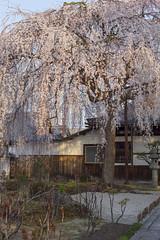 2016 Spring Season Tour Of Kyoto (caz76KOBE) Tags: japan canon landscape temple eos spring kyoto 京都 桜 cherryblossoms 春 carlzeiss macroplanar eos6d mp50 本満寺 honmanji carlzeissmakroplanart250ze 2016spring 2016kyoto 2016caz76