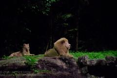 The king and queen (Stinkee Beek) Tags: nightsafari