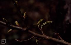 Black poplar male catkin, March 1992 (Mary Gillham Archive Project) Tags: blackpoplar planttree populusnigra st138808 wales cardiff forestfarm 1992 47732 march1992