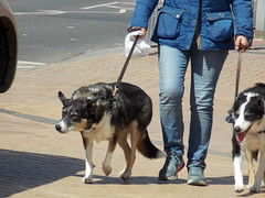 (Yasmin.A) Tags: uk england dogs town seaside wind ears bridlington