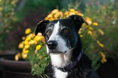 Bonny Girl 18/52/2016 (smile KB) Tags: flowers portrait daisy bonny 52weeksfordogs