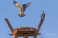Male Osprey tosses grass toward its nest - Sequence - 17 of 19