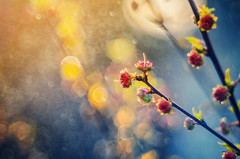 Spring | Explored on 2016.04.07 | Thank you all! (Psztor Andrs) Tags: blue light sunset red sun flower color nature water yellow lens photography drops soap bush aperture nikon hungary dof projector bokeh wide grlitz bubble bloom dreamy bud manual dslr f28 meyer andras 80mm optik pasztor d5100 diaplan