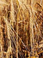 Ears of wheat (vav163) Tags: plant field rural corn farmers farm wheat elevator grain harvest straw stack rye ear land spine hay flour bundle current chaff placer husbandry ripening ripe stubble threshing sprinkle harvesting futures arable