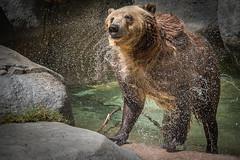Shaking Dry (helenehoffman) Tags: nature wet pool animal mammal wildlife sandiegozoo ursus carnivore brownbear ursusarctos grizzlybear specanimal