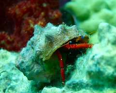 Hernit Crab (euanwhite) Tags: dive crab scuba diving hermit marinelife