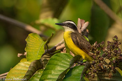 Great Kiskadee - Amazon basin (Donna Hampshire) Tags: birds ecuador greatkiskadee pitangussulphuratus amazonbasin ecuadorbirds colourfulbirds southamericanbirds napowildlifecentre donnarobinson canon7dii donnahampshire