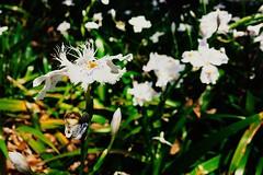 Fringed Iris Iris Iris Flowers White Flowers White Flower Spring Flowers Spring Spring Into Spring Hibiya Park City Park Tokyo Tokyo,Japan EyeEm Nature Lover (T.M Photos) Tags: iris japan whiteflower tokyo spring springflowers citypark whiteflowers hibiyapark  irisflowers fringediris springintospring eyeemnaturelover
