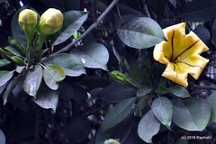 DSC_0489 (rachidH) Tags: flowers nepal nature vines lily blossoms kathmandu blooms solandramaxima chalicevine cupofgoldvine hawaiianlily goldenchalicevine rachidh solandragéante
