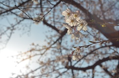 cherry blossom (ohimiro.) Tags: sky cherry nikon flare  cherryblossom    nikkors d5100