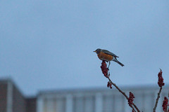 Robin (A Great Capture) Tags: blue winter red sky urban orange brown snow toronto ontario canada black cold tree bird nature robin sign spring photographer bokeh wildlife canadian perched on agc 2016 jamesmitchell adjm lhiver wwwagreatcapturecom agreatcapture mobilejay