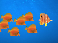 Follow (moellercoaster) Tags: blue orange color nature animals exotic scales schools multicolored organization leadership naturalworld catalogs alliance loyalty teamwork excellence tropicalfishes polychrome polychromatic animaltissues animalanatomy animalgroupings redcd westlightcreativefreedom3i corbiscorporation submarineview submergedview underwaterview