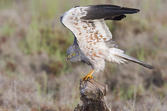 _NAT1259 (VictorD7000) Tags: espaa birds libertad birding aves alicante birdwatching torrevieja circuspygargus rapaces aguiluchocenizo nikond7200 sigma150600sport pnlagunasdelamatatorrevieja