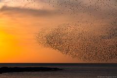 Starling Murmuration. (Gareth Hughes Photography) Tags: wales canon eos pier westwales starling aberystwyth ceredigion murmuration sturnusvulgaris aberystwythpier canonef70200f28lisiiusm canon1dx