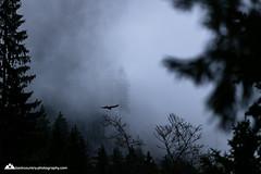 #eigenthal #eagle (www.backcountry-photography.com) Tags: wood travel light mountain alps tree bird love nature animal fog clouds canon switzerland spring outdoor swiss ngc luzern adventure pilatus lucerne mothernature fstop