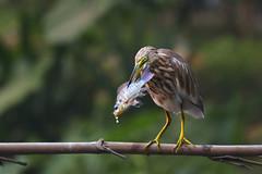 Heron with big catch! (nomane172) Tags: bird heron nature animal nikon outdoor wildlife ngc waterbird dhaka 70300mm tamron bangladesh naturephotography pondheron wildlifephotography uttara d7100 birdsofbangladesh withcatch