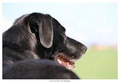 Pooky (aurelierouyer) Tags: portrait chien canon eos labrador blacklab pooky mydog canin 70d lovelydog petitamour