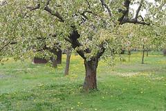 Ihr Christen, freuet euch, der Winter ist vergangen (amras_de) Tags: flower tree primavera fleur spring flor tr boom arbor rbol jar blomma prima fiore albero lente blte tre puu blomst arbre rvore printemps vor strom baum arbo fa tavasz virg tr ver frhling lore ware vr bloem jaro blm wiosna floro baumblte kwiat flos koks forr ciuri primavara drvo pavasaris drzewo kvet kukka cvijet flouer medis arbore stablo zuhaitz blth crann cvet zieds drevo is proljece printempo earrach floare pomlad blome iedas rvulu frijoer