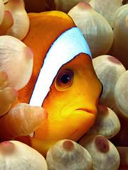 Anemone fish (Dive Sharm) Tags: red sea fish nemo scuba anemonefish