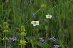 prairies printanire (bulbocode909) Tags: nature fleurs vert prairies avril printemps herbes