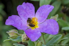 Macro_La Tossa 023 (jomendro) Tags: macro planta animals flor natura plantes macrofotografa abelles latossademontbui