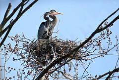 Great Blue Herons (Doris Burfind) Tags: bird heron spring nest greatblueheron