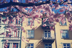 Cherry Blossoms in Oslo (Creative Days) Tags: street flowers tree oslo norway architecture norge flora cherryblossoms sonya7sii