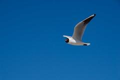 TH20150514A603401 (fotografie-heinrich) Tags: strand himmel mwe ostsee vogel zingst