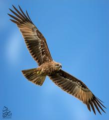 Juvenile Brahminy Kite 3 (Saeed Lajami) Tags: india birds canon wildlife karnataka juvenile in brahminykite mysuru