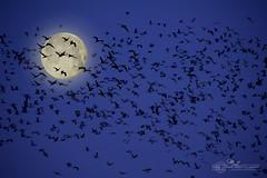 Moon_2 (mikeyasp) Tags: sky moon birds fauna outdoors nebraska silhouettes cranes avian sandhillcranes