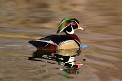 Morning Wood Duck (Photos By JM) Tags: highpark