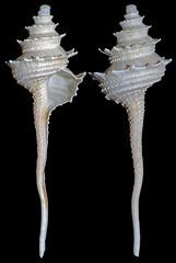 Vase-shell Columbarium hedleyi (Simon Grove (TMAG)) Tags: australia victoria columbarium mollusca gastropoda turbinellidae