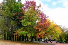 Autumn trees (garydlum) Tags: autumn trees au australia canberra belconnen australiancapitalterritory lakeginninderra