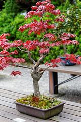 20160413-38-Bonsai at Kyoto Botanic Gardens (Roger T Wong) Tags: travel trees holiday japan kyoto bonsai botanicgardens 2016 canonef70200mmf4lisusm canon70200f4lis canoneos6d rogettwong