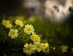 Primroses and bluebells (tonybill) Tags: flowers sunshine gardens bluebells garden spring bokeh surrey april miscellaneous ramster pentaxsmctakumar50mmf14 sonya7