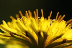 Löwenzahn (notpushkin) Tags: yellow spring dandelion gelb frühling löwenzahn