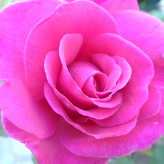DSC01394 (omirou56) Tags: flower macro nature natur natura 11 greece pinkrose sonydscwx500