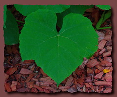 Grape Leaf (alessiorossitto) Tags: leaf grape