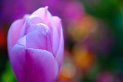 Couleurs d'un soir (christophe.laigle) Tags: flower macro fleur colors fuji couleurs 60mm soir printemps tulipe xpro2