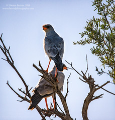Pale Chanting Goshawks - 'All Sides Covered' (Dwood Photography) Tags: africa blue orange game bird grey gray central reserve pale prey botswana kalahari avian birdofprey chanting goshawk 2016 palechantinggoshawk centralkalaharigamereserve ckgr dwoodphotography dwoodphotographycom