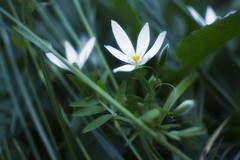 Lotos (Marko Kamenski) Tags: white flower whiteflower glow pastel muted kamenski markokamenski
