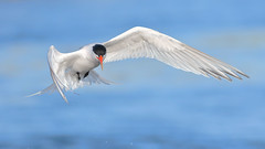 Elegant Tern (bmse) Tags: blue eye canon drops l contact f56 salah 400mm eleganttern wingsinmotion 7d2 bmse baazizi