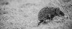 stay strong! (Lumins) Tags: light bw baby sweet pano sony run hedgehog